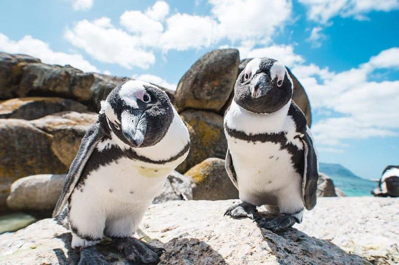 Pinguins em Bouders Beach na Cidade do Cabo