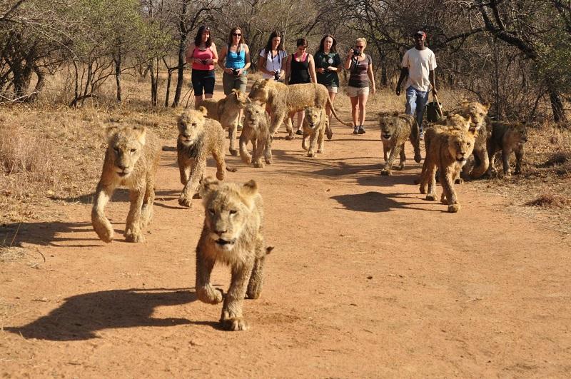 Passeios com leões em Johanesburgo